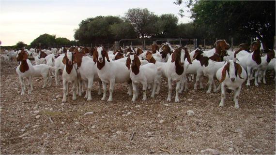 Resultado de imagem para fotos de caprinos da raça boer