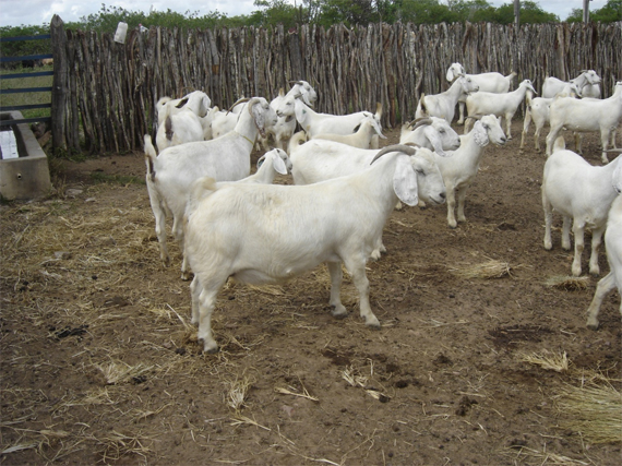 Resultado de imagem para raça de cabra savana